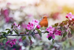 Bird Robin sitting on a branch of a flowering pink Apple tree in the spring garden of may. Little bird Robin sitting on a branch of a flowering pink Apple tree stock images
