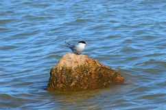 Little bird on a rock. Little bird with a red beak on a rock in the big sea stock photo