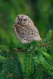 Little bird Scops Owl, Otus scops, sittting on spruce tree. Little bird Scops Owl, Otus scops, sittting on spruce Stock Images