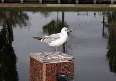 Little bird, seagull in the city pond stock photo