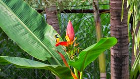Free Little Bird Sings On Banana Flower. Olive-back Sunbird Male On Exotic Plant. Small Yellow Bird With Blue Chest. Royalty Free Stock Photo - 103201255