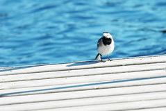 Little bird sits on a pier. About lake royalty free stock photo