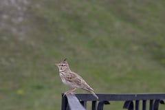 Little bird sitting on railing Royalty Free Stock Photography
