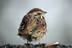 Little Bird. A little song sparrow (Melospiza melodia) with fluffed up feathers stock images