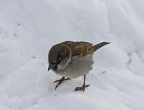 Little bird Sparrow sitting in the snow. A little Sparrow sits in the snow in the winter. His paws froze. He wants to eat and looking out for where to find food Royalty Free Stock Photos