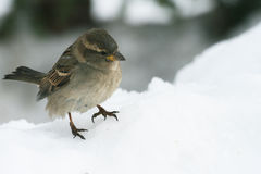 Little bird Sparrow sitting in the snow. A little Sparrow sits in the snow in the winter. His paws froze. He wants to eat and looking out for where to find food Royalty Free Stock Image