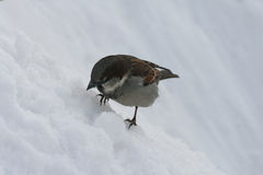 Little bird Sparrow sitting in the snow. A little Sparrow sits in the snow in the winter. His paws froze. He wants to eat and looking out for where to find food royalty free stock images