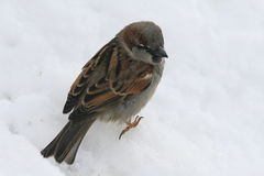 Little bird Sparrow sitting in the snow. A little Sparrow sits in the snow in the winter. His paws froze. He wants to eat and looking out for where to find food Stock Images