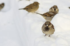 Little bird. A little sparrow in winter Royalty Free Stock Photography