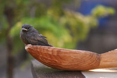 Little bird and spoon. Little bird and huge wood spoon. Phoenicurus ochruros from Muscicapidae family Stock Photo