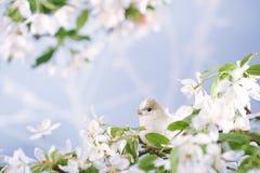 Little bird in Spring with blossom flower sakura stock photo