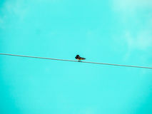 Little bird stand on power elecrtic line Royalty Free Stock Photography