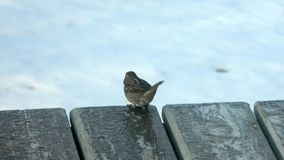 Little Bird Braving Cold Winter. Little bird standing close to the ledge on a frozen wooden deck during winter Royalty Free Stock Photography