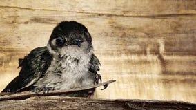 Little bird. Swiff Hirundinidae Swiftlet babybird baby birdnest Stock Photo