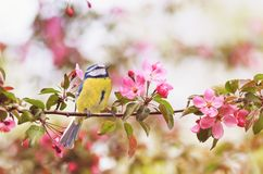 Little bird tit sitting on an Apple tree branch with bright pin stock photo