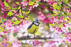 little bird tit sitting in may spring garden surrounde royalty free stock photo