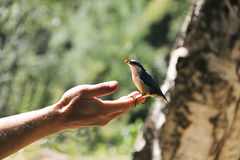 Little bird - titmouse sitting on a human hand and eating bright berry.  Royalty Free Stock Photos