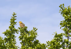 Little bird on a tree Royalty Free Stock Photography