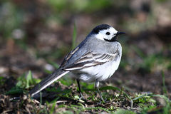 Little bird Wagtail Royalty Free Stock Photography