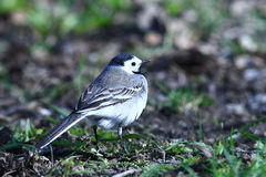 Little bird Wagtail Royalty Free Stock Photos