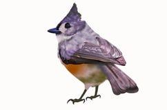Little bird on white background. Whiskered bulbul bird on white background Royalty Free Stock Images
