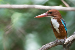 This Little Bird White-throated Kingfisher has a bright blue b. Ack, wings and tail. Its head, shoulders, flanks and lower belly are chestnut, and the throat and Stock Images