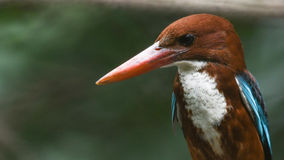 A Little Bird White-throated Kingfisher Looking some feeds in Royalty Free Stock Photo
