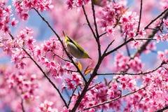 Little bird on wild himalayan cherry tree Royalty Free Stock Photography