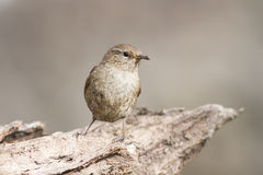 Little bird the Wren Royalty Free Stock Images