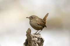 Little bird the Wren Royalty Free Stock Photography