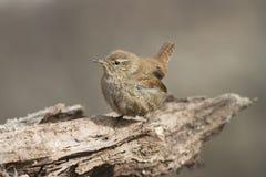 Little bird the Wren Stock Images