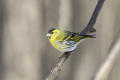 Little bird yellow Siskin. On a branch in the Park Royalty Free Stock Images