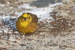 Little bird  yellowhammer on snow close up. Ukraine Stock Images