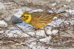 Little bird  yellowhammer on snow close up. Ukraine Stock Image