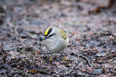 Little Birdie. I believe this is a Golden-crowned Kinglet that I found in Priest Park in Washington. These birds are hard to photograph, but I managed to get Royalty Free Stock Photos