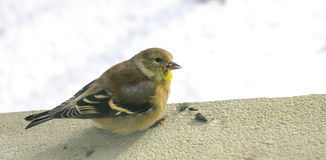 Little birdie on a window.  female goldfinch on a window sill, close up detail. Royalty Free Stock Photos
