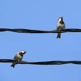 Little birds. Little grey sparrows on a wire with blue sky Stock Image