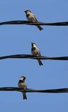 Little birds. Little grey sparrows on a wire with clean blue sky stock photos