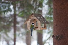 Birds in the bird feeder in the winter snow forest. Little birds in the bird feeder in the winter snow forest. Titmouse sits on a branch. House for birds. A Stock Photography