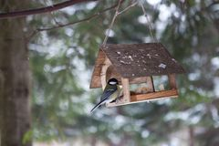 Little birds in the bird feeder in the winter snow forest. Titmouse sits on a branch. House for birds. A small house in the forest Royalty Free Stock Images