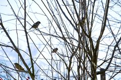 Little birds at the branches of dog rose. At spring stock photos