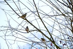 Little birds at the branches of dog rose. At spring stock photo