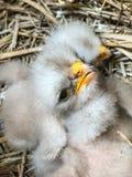 Little birds new born Royalty Free Stock Photography