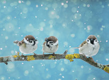Little birds sitting on the branch in falling snow in the Royalty Free Stock Photo