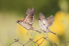 Little birds are sitting and fighting with wire fence Royalty Free Stock Photos
