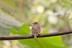 The little birds in the wild. Red-throated Flycatcher.Living in the wild like flying insects, and return to the original Royalty Free Stock Image