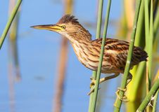 Little Bittern Royalty Free Stock Photography