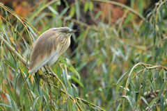 Little bittern Royalty Free Stock Images