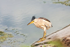 Little bittern, adult, female / Ixobrychus minutus Stock Photography