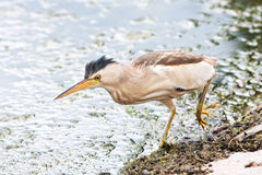 Little bittern, adult, female / Ixobrychus minutus Royalty Free Stock Images